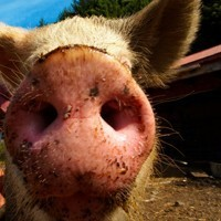 Family business fined $10,000 for telling porkies about bacon's origin
