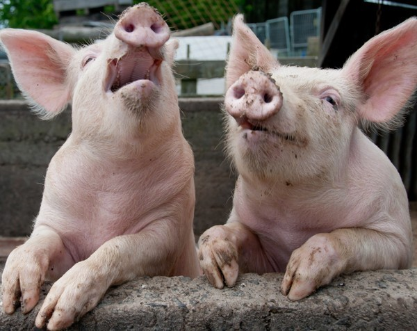 Watchdog orders pork producers not to tell porkies about free range products